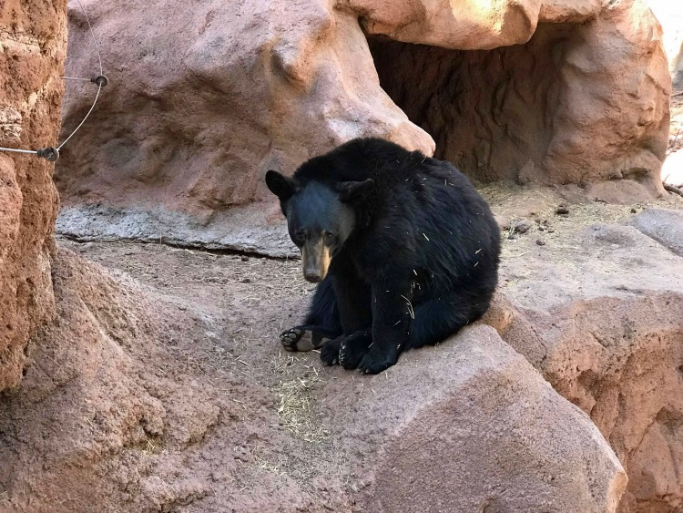 ips for visiting Bearizona and seeing bear cubs