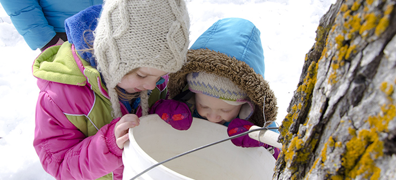 Did you know kids can help collect maple syrup, for free