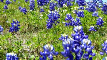 If you want to know where to find Texas Bluebonnets, TravelingMom has you covered!