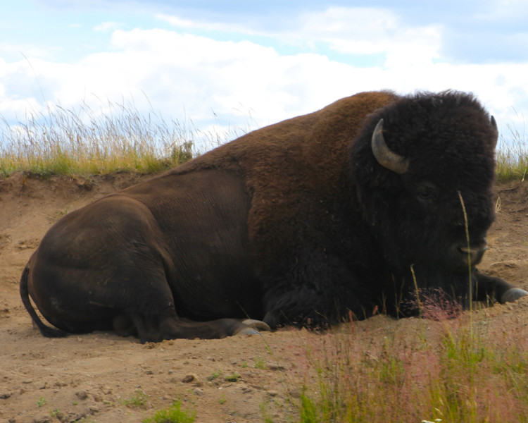 American Bison. Ultimate guide to Yellowstone National Park.