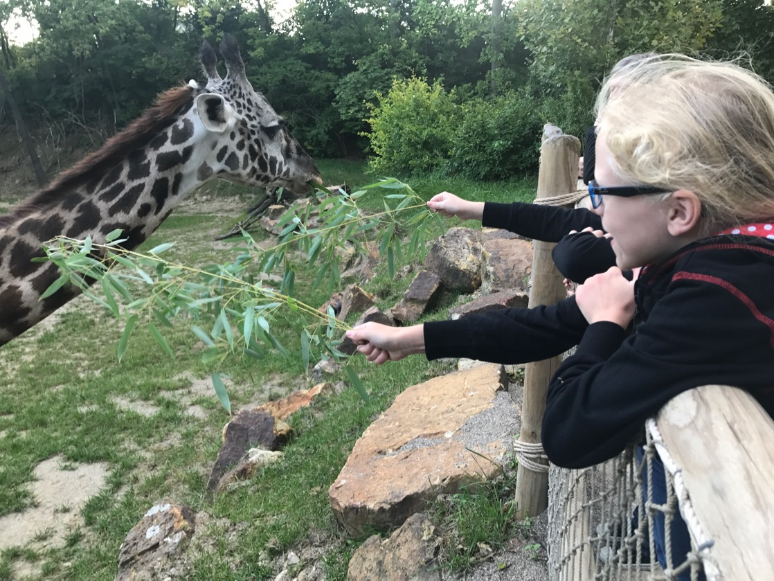 Overnight At The Zoo Camping With Giraffes At The