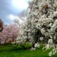 Enjoying the cherry blossoms in Philadelphia at the Horticultural Center in West Philadelphia