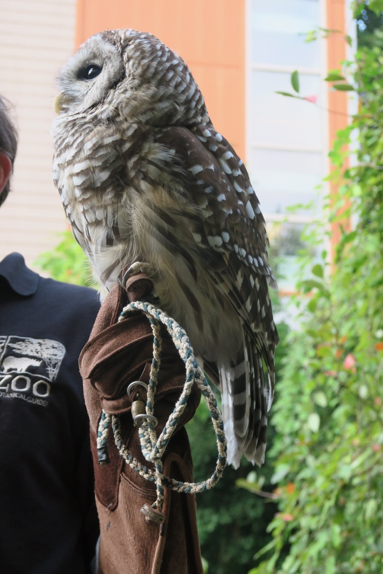 a barred owl named Homer visits guests participating in zoo overnight programs