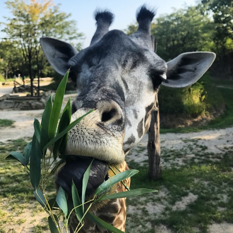 A giraffe at the Cincinnati Zoo gets up close and personal during a behind-the-scenes feeding opportunity during an overnight at the zoo.