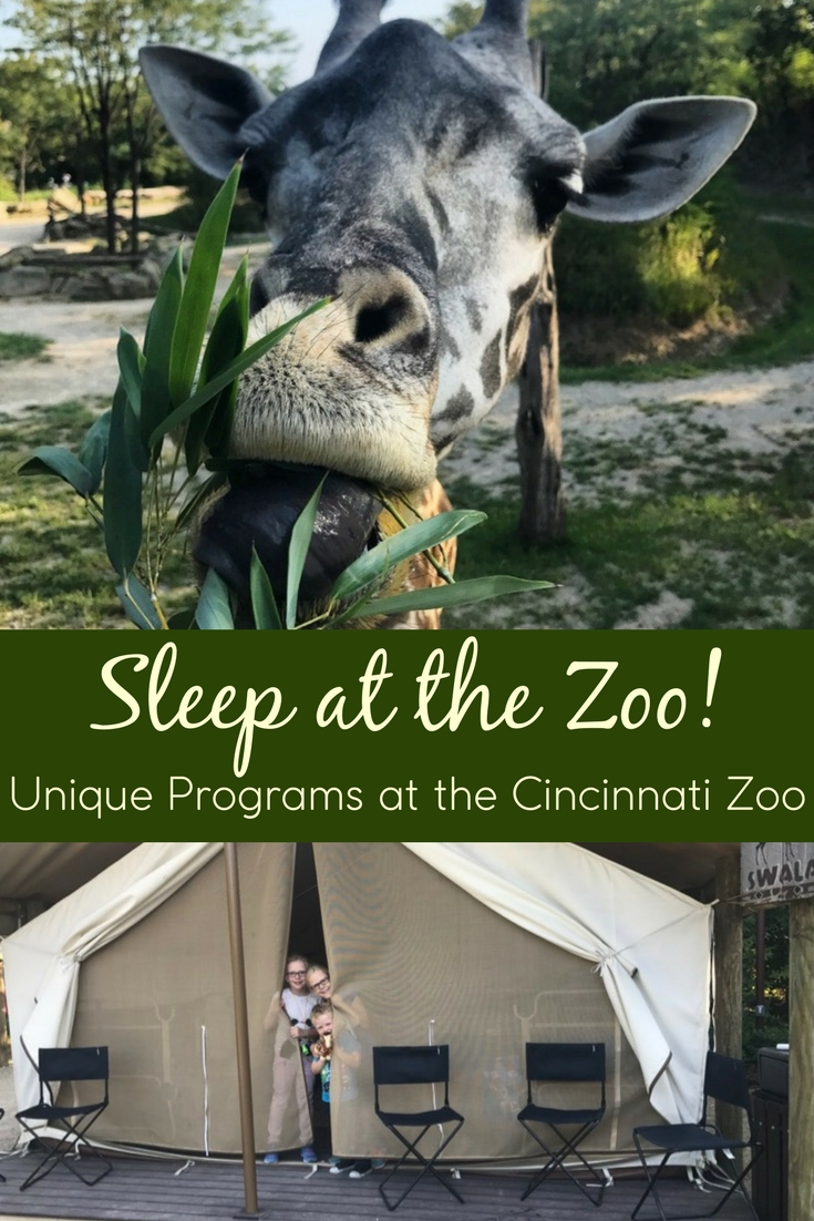 The Twiga Overnight at the Cincinnati Zoo is a giraffe-lovers dream come true! In this overnight at the zoo, guests can sleep in incredible tents right next to the giraffe enclosure. They'll also enjoy behind the scenes tours, animal encounters, and so much more. The Cincinnati Zoo also offers a variety of other unique programs and overnights, including a chance to sleep with the manatees!