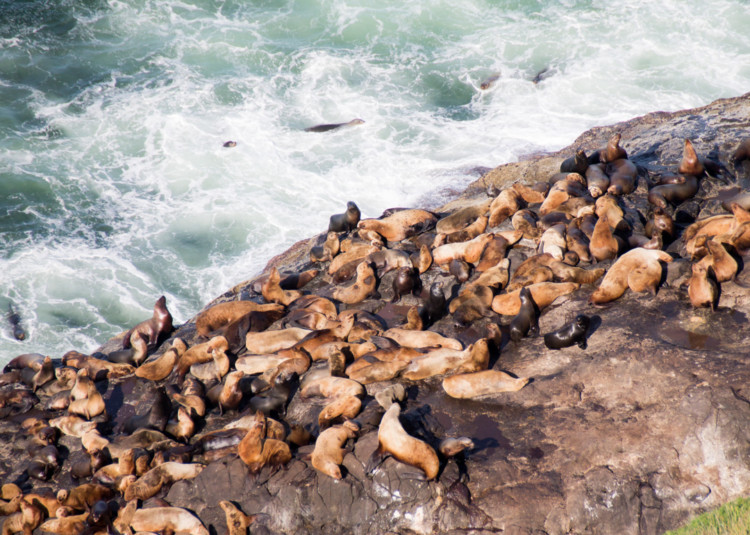sea lions along the west coast in Oregon
