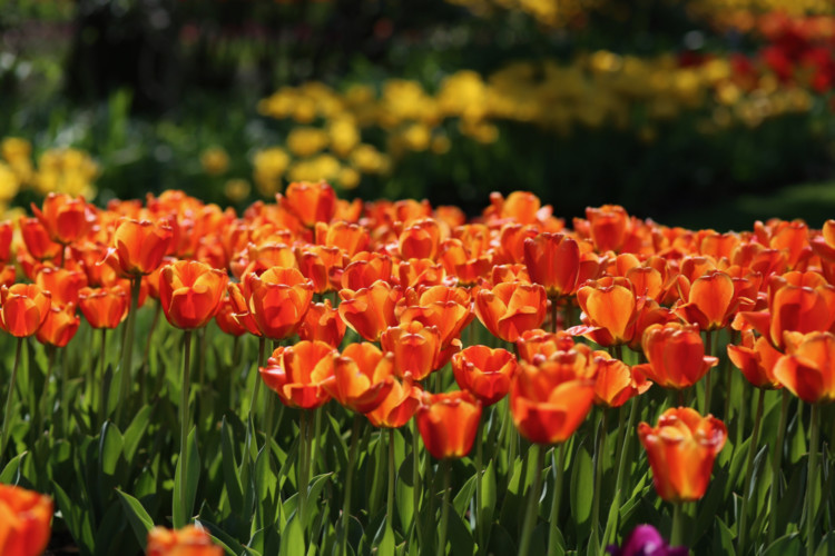 a field of orange tulips in the foreground, with other colored flowers in the background