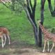 Disney's Animal Kingdom Hotel offers views of animals wandering a savanna
