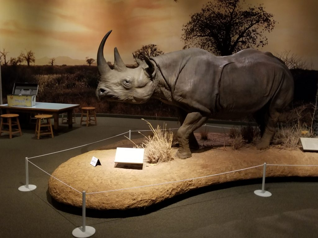 A taxidermy rhinoceros at the Carnegie Museum of Natural History in Pittsburgh PA.