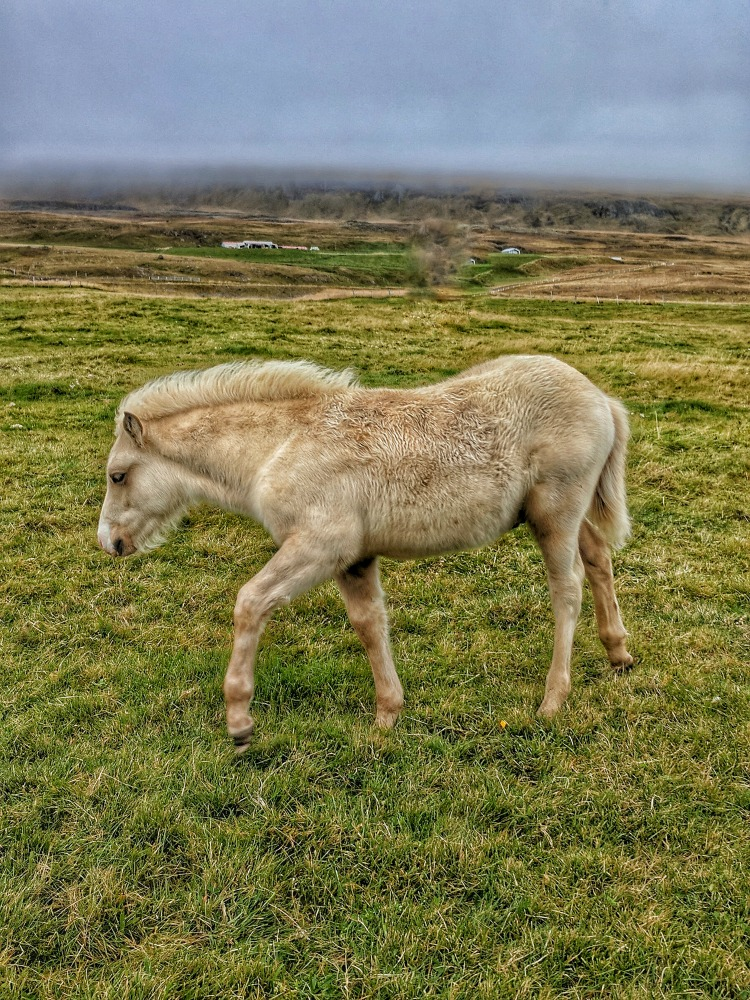 Planning Iceland Road Trip. Horses and sheep are the part of scenery of Iceland.
