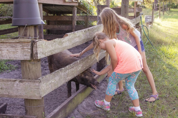 Petting a friendly pig at the Crowley Museum in Sarasota Florida