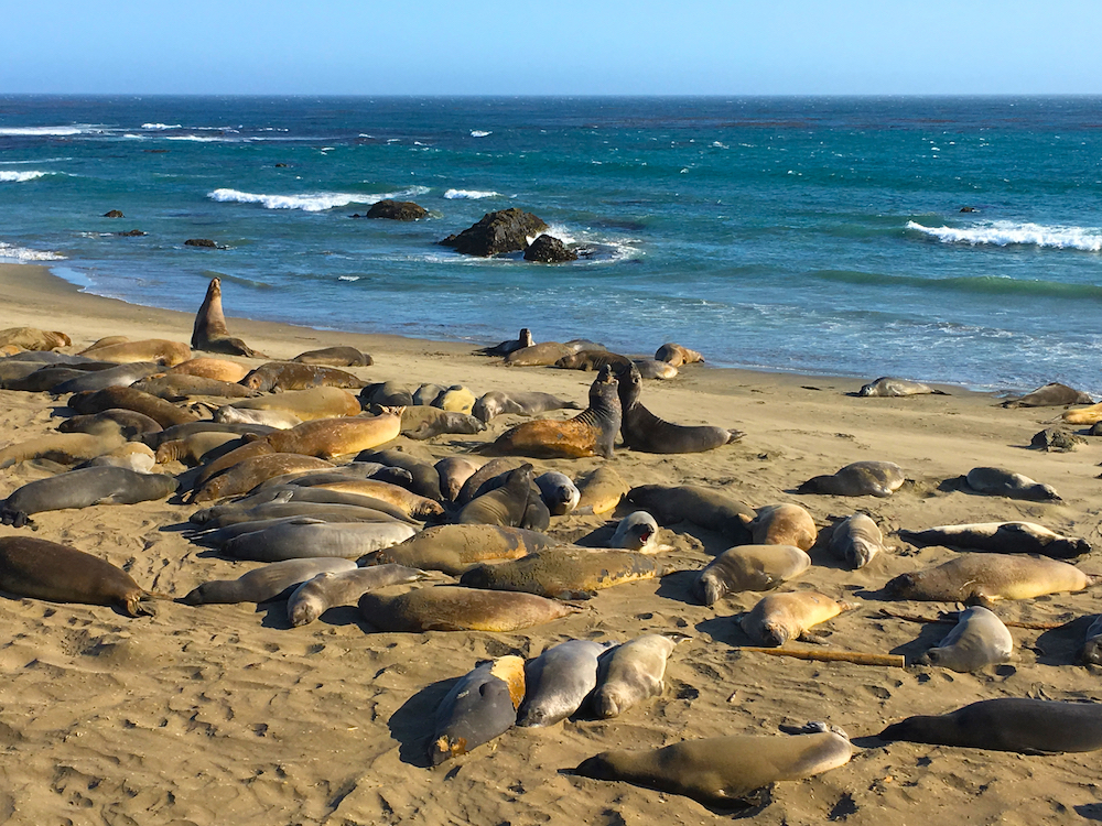 Elephant Seal Beach. Best Southern Calfornia Beaches for Camping.