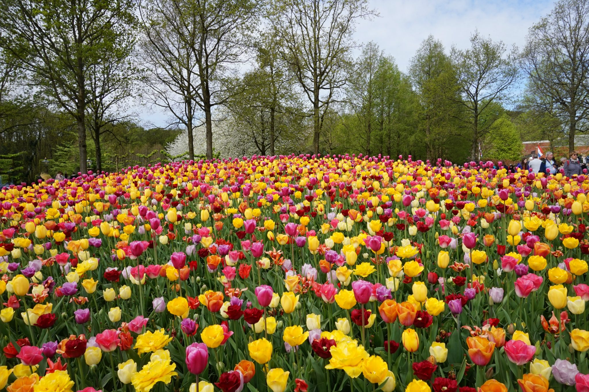 Best day trips from Amsterdam. Keukenhof Gardens showing off their tulips in variety of colors and shapes.