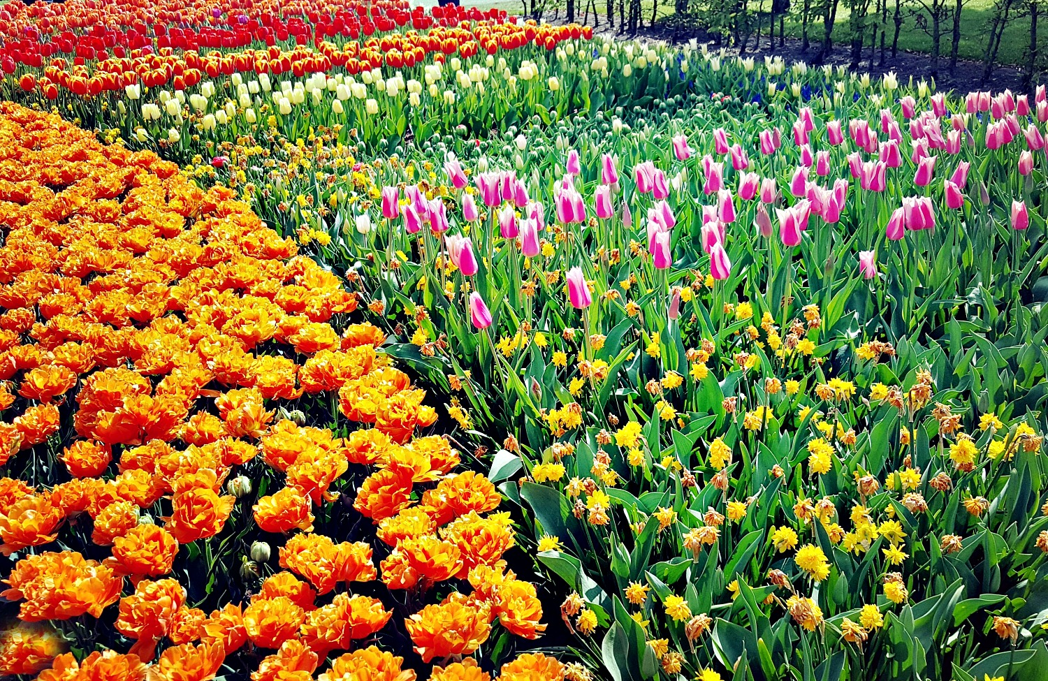 Best day trips from Amsterdam. Unimaginable variety of tulips at Keukenhof Gardens.