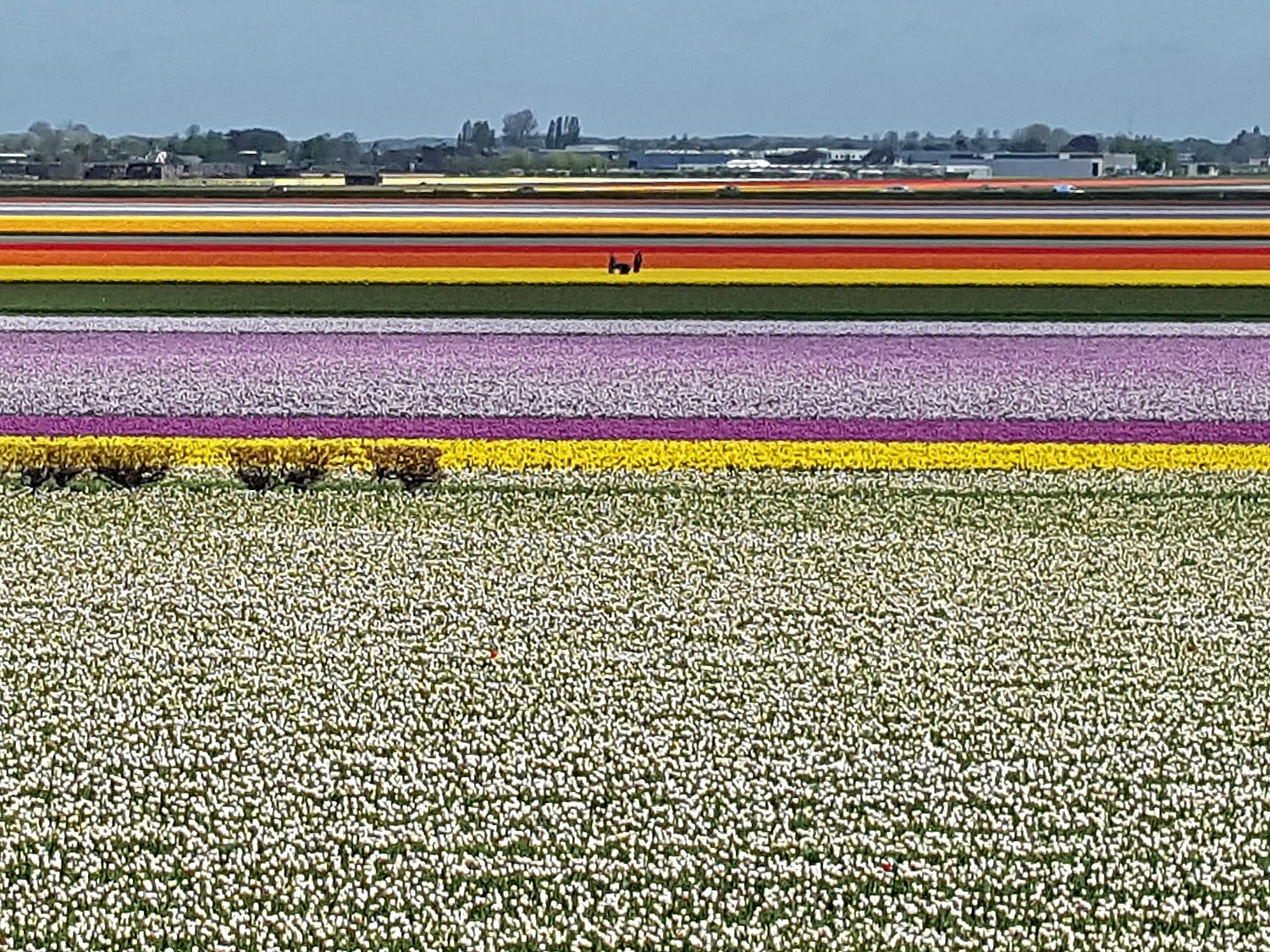 Best day trips from Amsterdam. Carpet of tulips by Keukenhof Gardens in Holland.