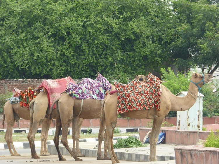 Camels in India.