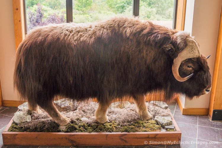 A Small Bison on a Display at the Tanglewood Nature Center Museum