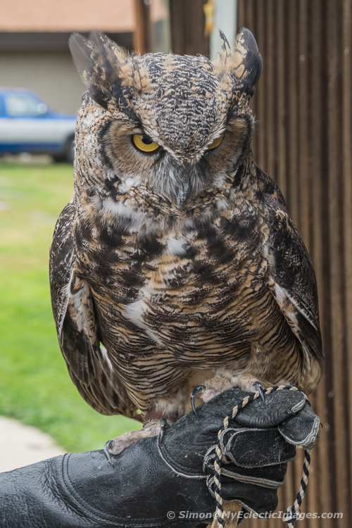 Tanglewood Nature Center's Sophie, a Great Horned Owl.