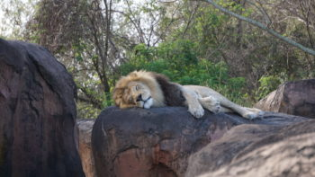 animal-kingdom-safari-lion
