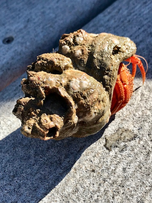before cleaning seashells, make sure no one's alive inside like this hermit crab