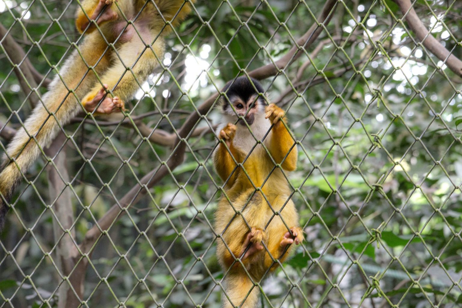 One of the things to do in Costa Rica with kids is to watch the monkeys play.