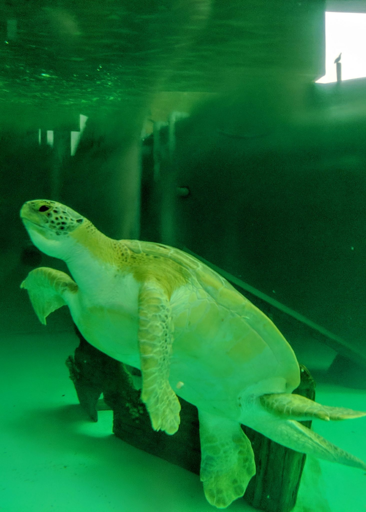 An injured sea turtle swims at Sea Turtle Inc.