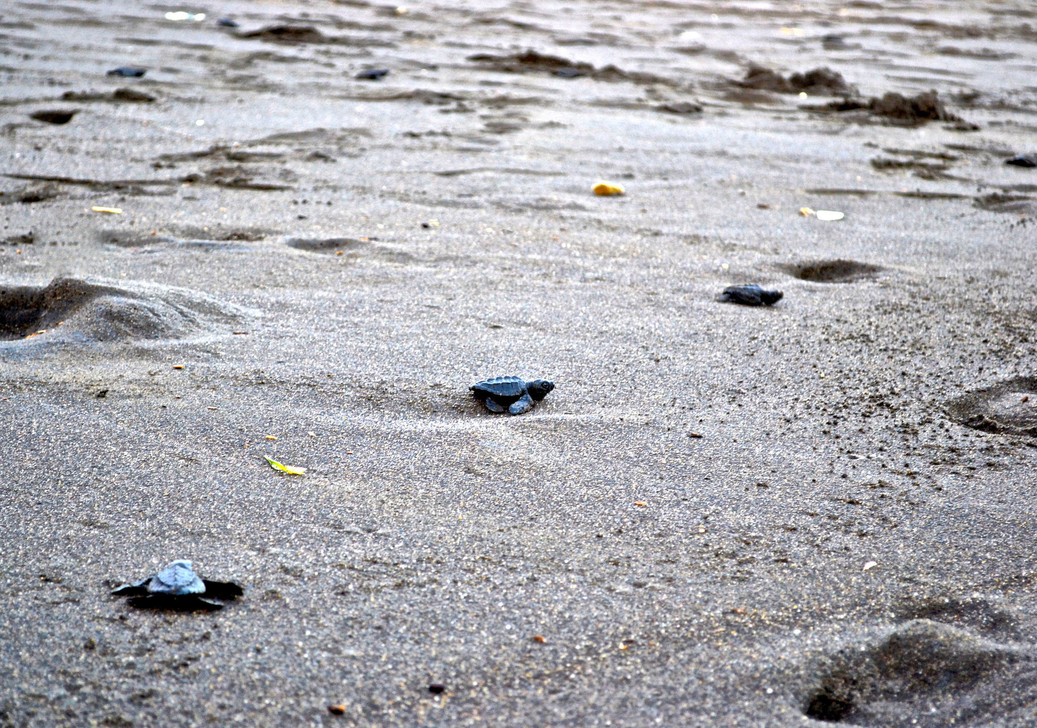 Baby Sea Turtles searching their way to the sea.
