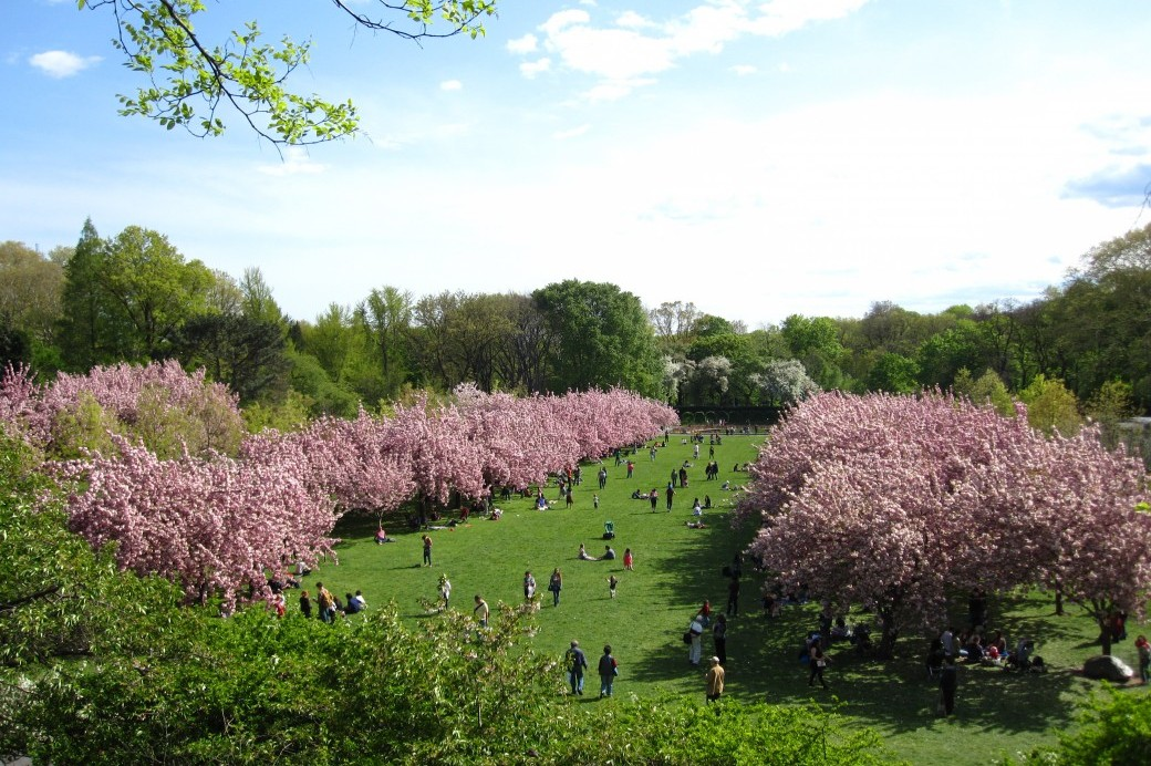 People enjoying the Cherry Esplanade - brooklyn botanic garden