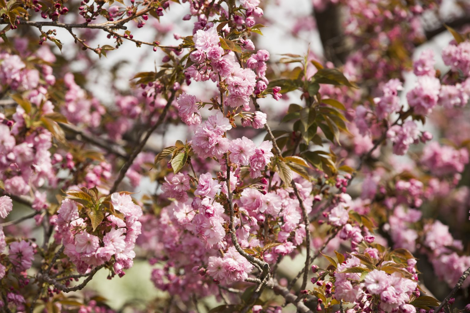 kanzan cherry blossoms at The New York Botanical Garden