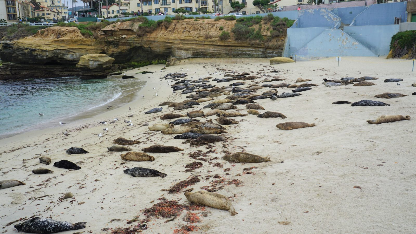 Fun things to do in La Jolla with kids: Adorable seals sunning themselves on the beach at the children's pool (La Jolla).=