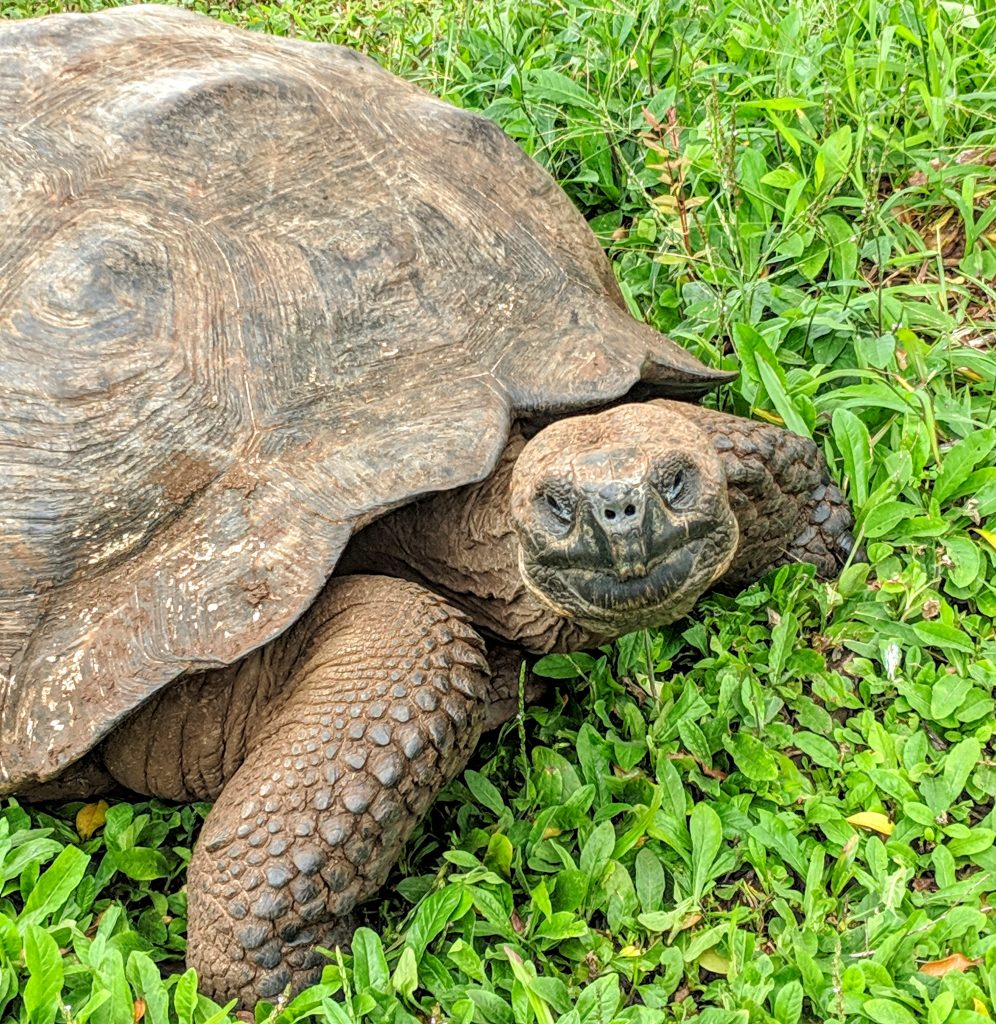 A giant Galapagos tortoise poses for a photo.