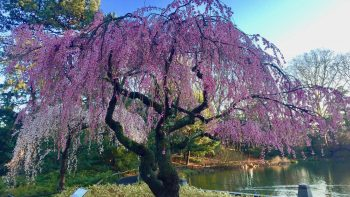 kanzan cherry blossoms at The New York Botanical Garden, one of the best places to see NYC cherry blossoms