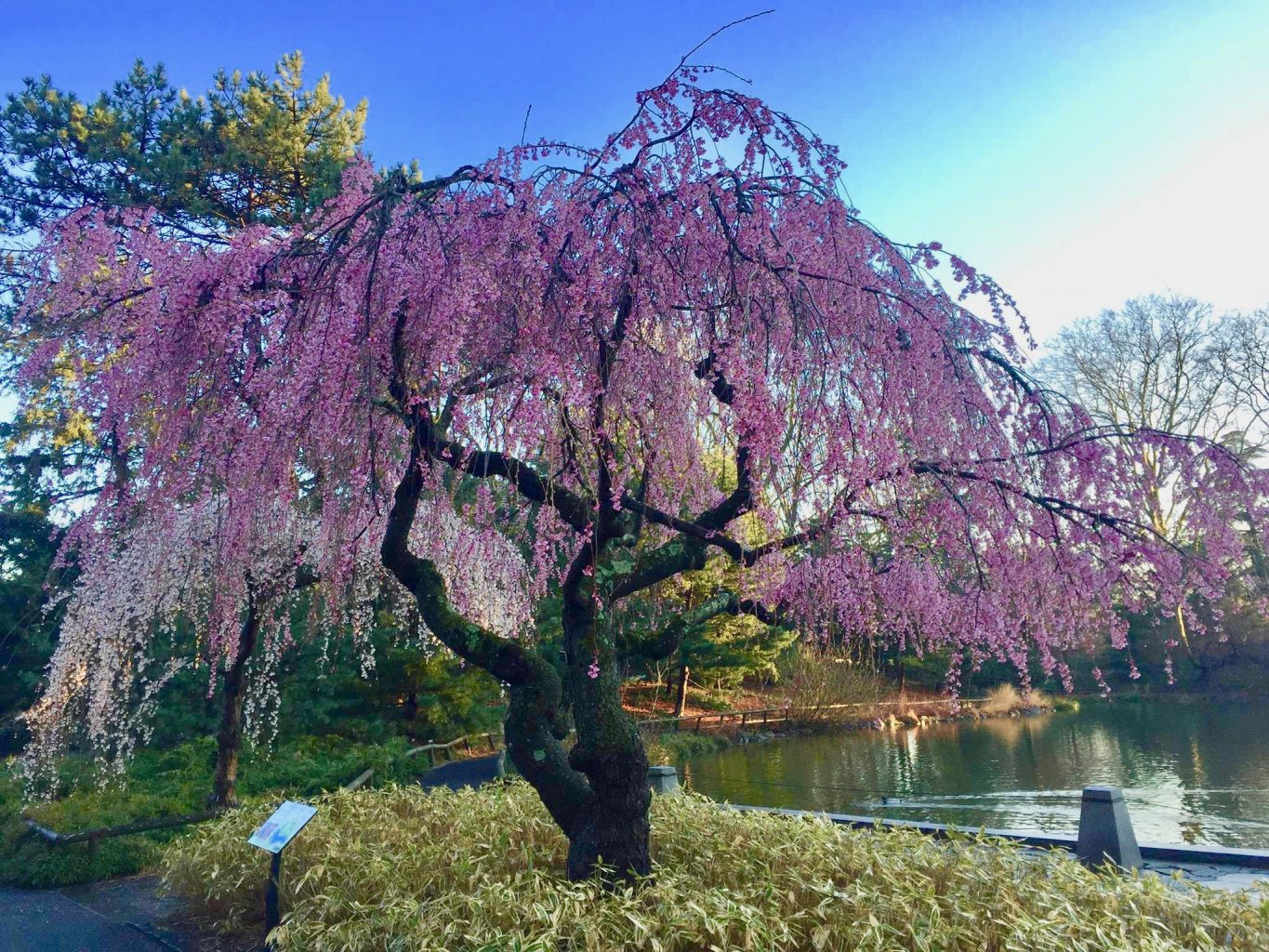 weeping cherry at the Brooklyn Botanic Garden, a wonderful nyc place to see cherry blossoms