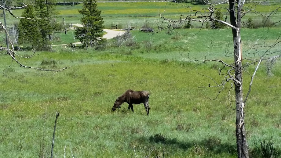 Your Rocky Mountain National Park road trip is almost guaranteed a wildlife sighting, including moose.
