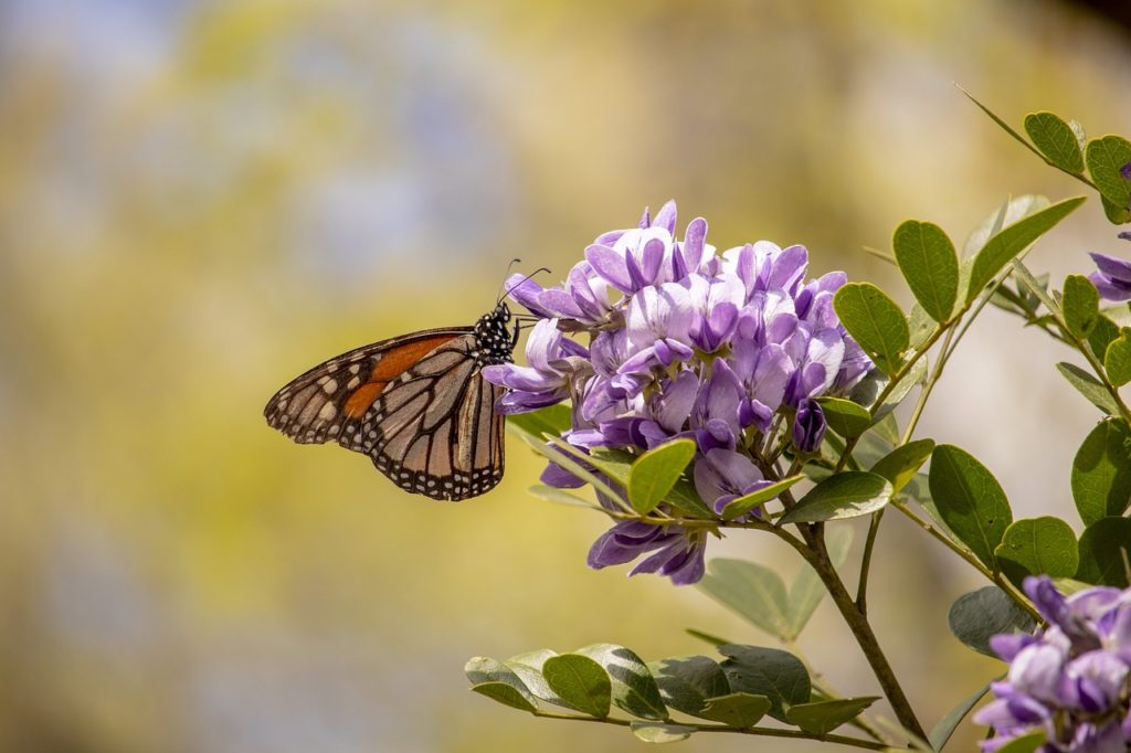 The Texas Native Trail at the San Antonio Botanical Garden features area plants like possum haw, huisache, and Texas Mountain Laurel.