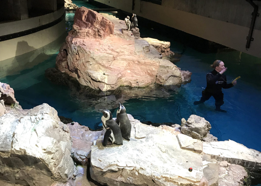 Two penguins sit on a rock with water and another rock nearby. Watching them is one of my favorite things to do in Boston on a Sunday.