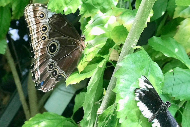 Two butterflies in the Butterfly Garden at one of the best museums for kids in Boston, the Museum of Science