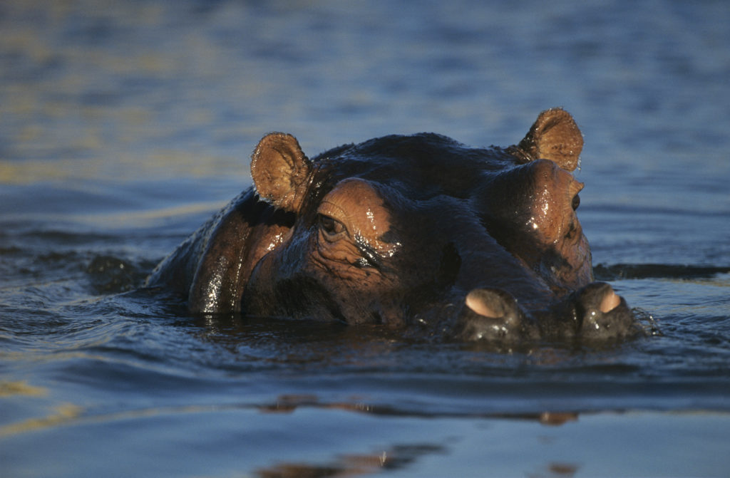 Safari tips -- watch the water for hippos.