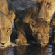 Safari tips - watch the water to see lions getting a drink.