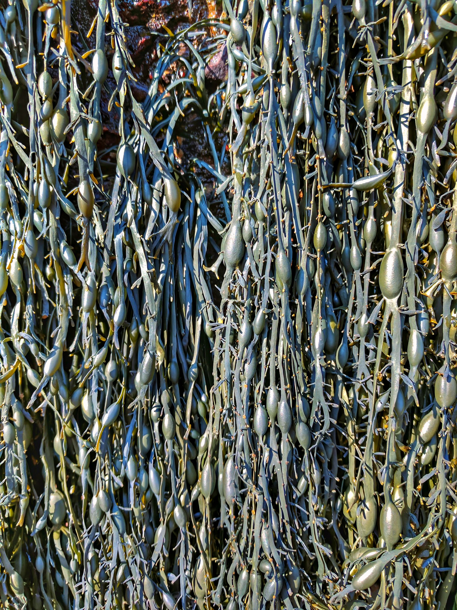 Closeup of the seaweeds at the Hopewell Rocks in New Brunswick.