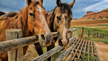 Wild West Vacation. Two horses welcoming you at Red Reflet, Wyoming dude ranch.