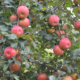 Time for apple picking in New York