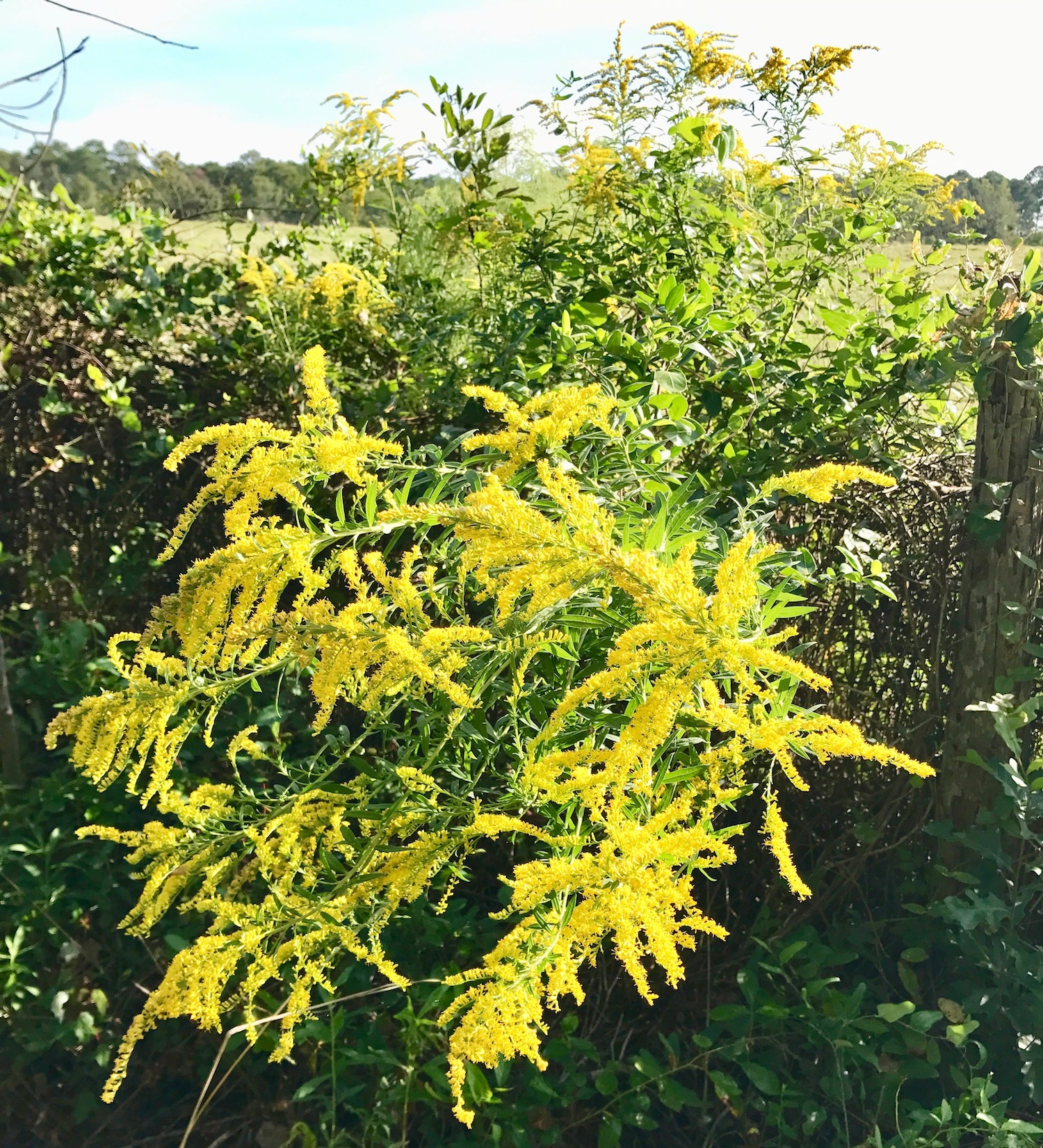 Autumn colors in the south include brilliant yellows of goldenrod.