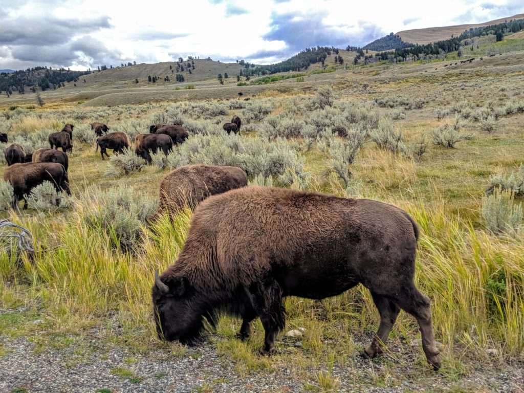 a field of bison in Yellowstone National Park one of the things to do