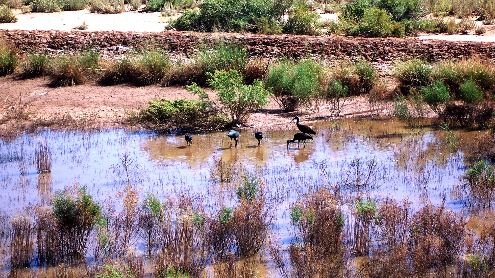 5 blue herons in the water of Chaco Wash