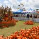 Pumpkins galore at fall festivals.