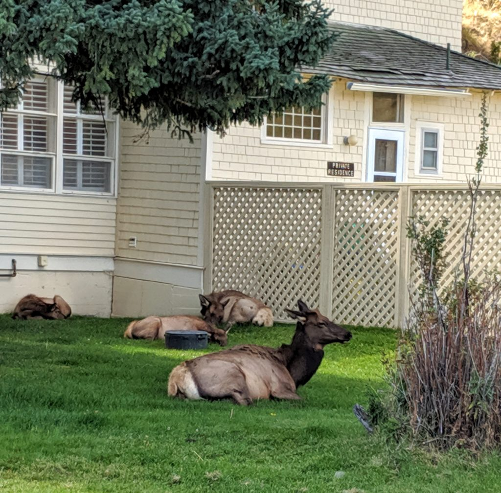 Wild elk laying down on a lawn near Yellowstone National Park