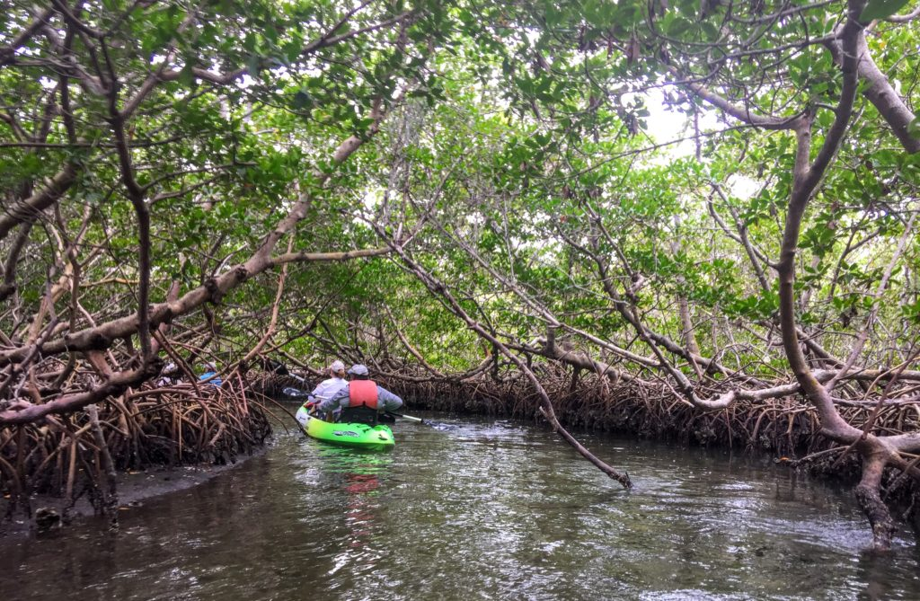 Kayaking through mangroves in southwest Florida.