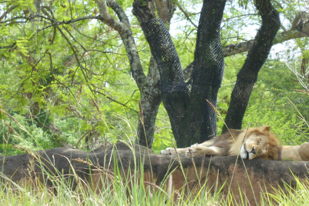Looking forward to seeing the lions on Disney's Kilimanjaro Safari ride? Try to go in the morning. The lions tend to be sleeping in the hot afternoon hours.