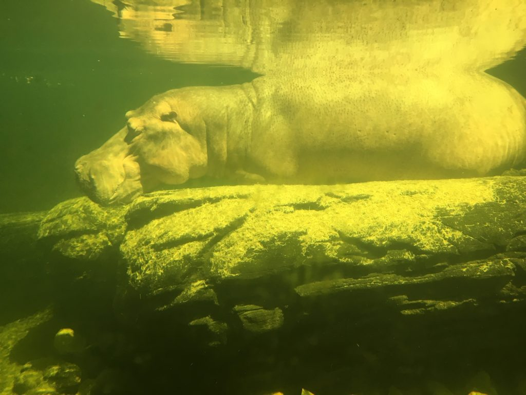 Check out how hippos sleep underwater on the the Gorilla Falls Trail at Animal Kingdom.